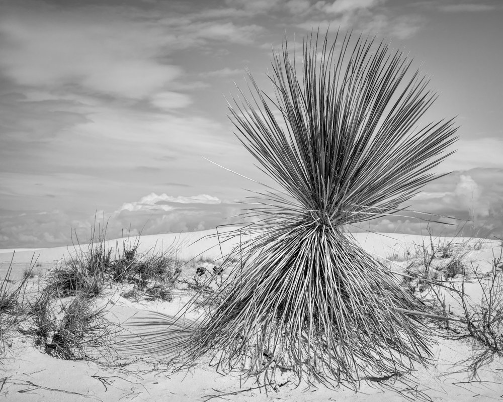 yucca and dunes