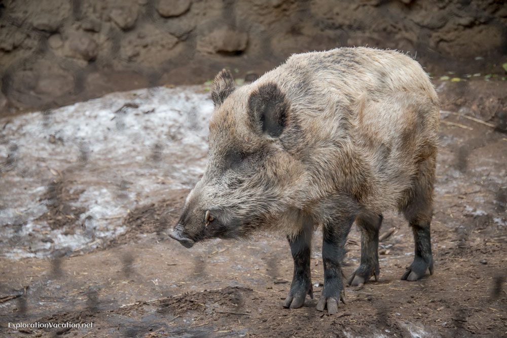 wild boar at the Minnesota Zoo - ExplorationVacation.net