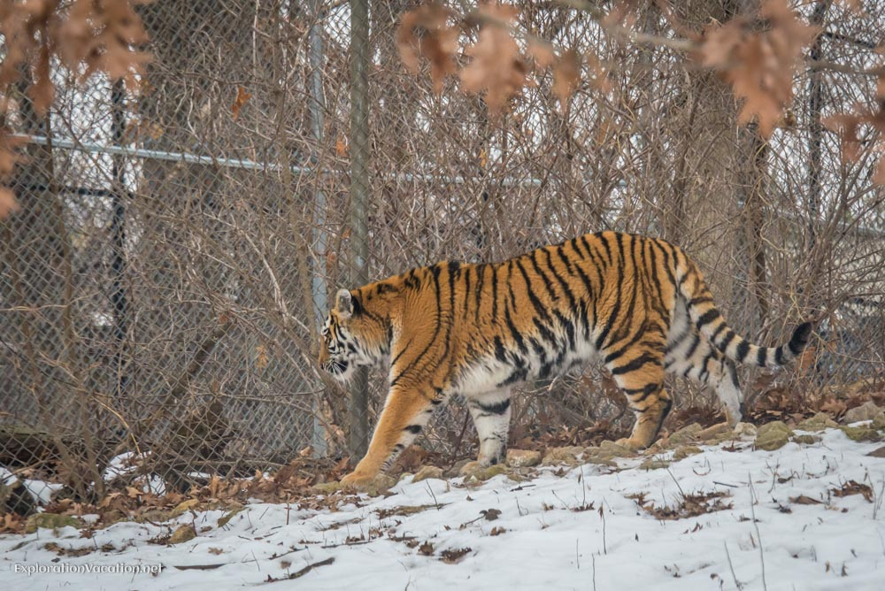 Tigers at the Minnesota Zoo - ExplorationVacation.net