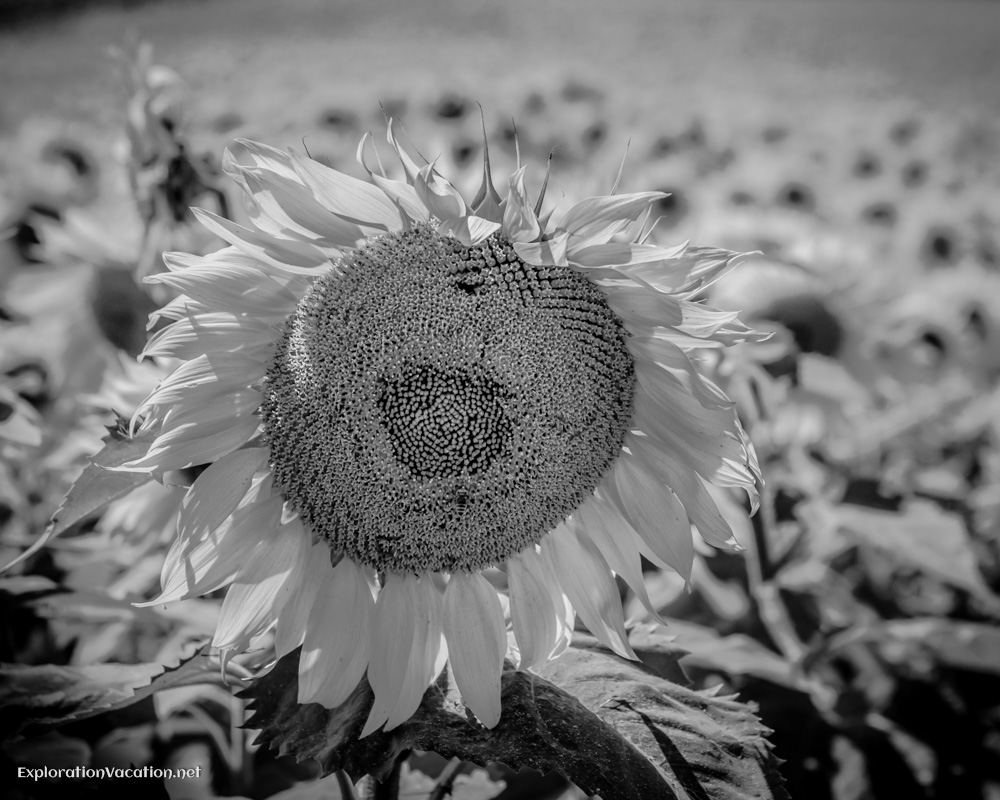Single Sunflower - ExplorationVacation.net