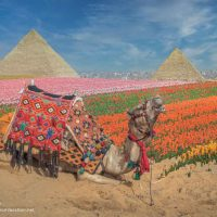 composite image of a camel with pyramids in a field of tulips