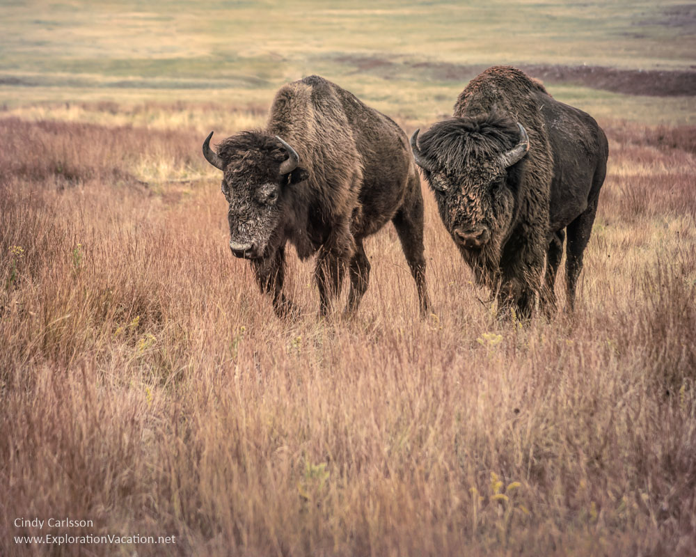 Artistic image of a couple of buffalo