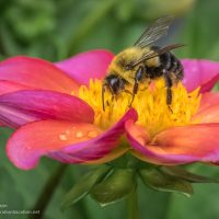 Bee and dahlia St Paul Camera Club - Cindy Carlsson