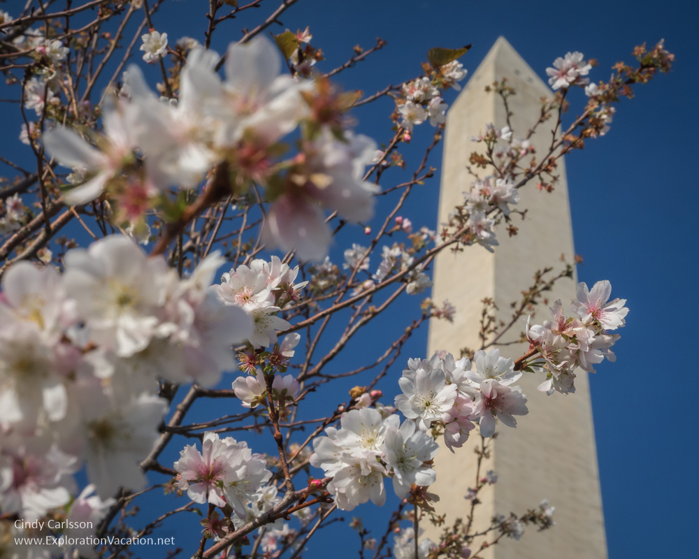 Cherry Blossoms at Washington Monument - Cindy Carlsson