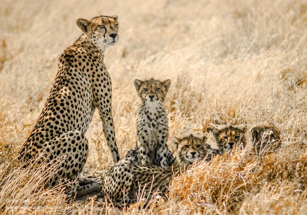 cheetah family 2005-09-13_02-07-12
