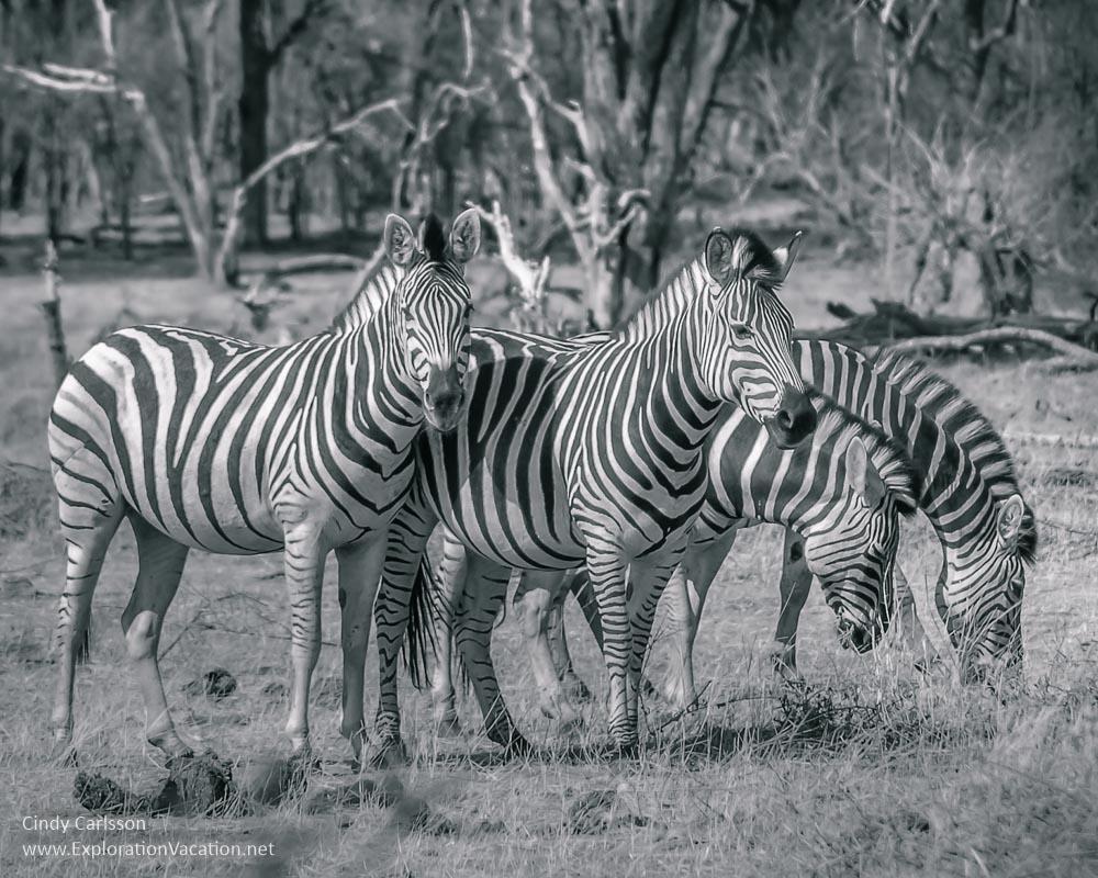 Zebra herd Botswana - playingwithphotography.com
