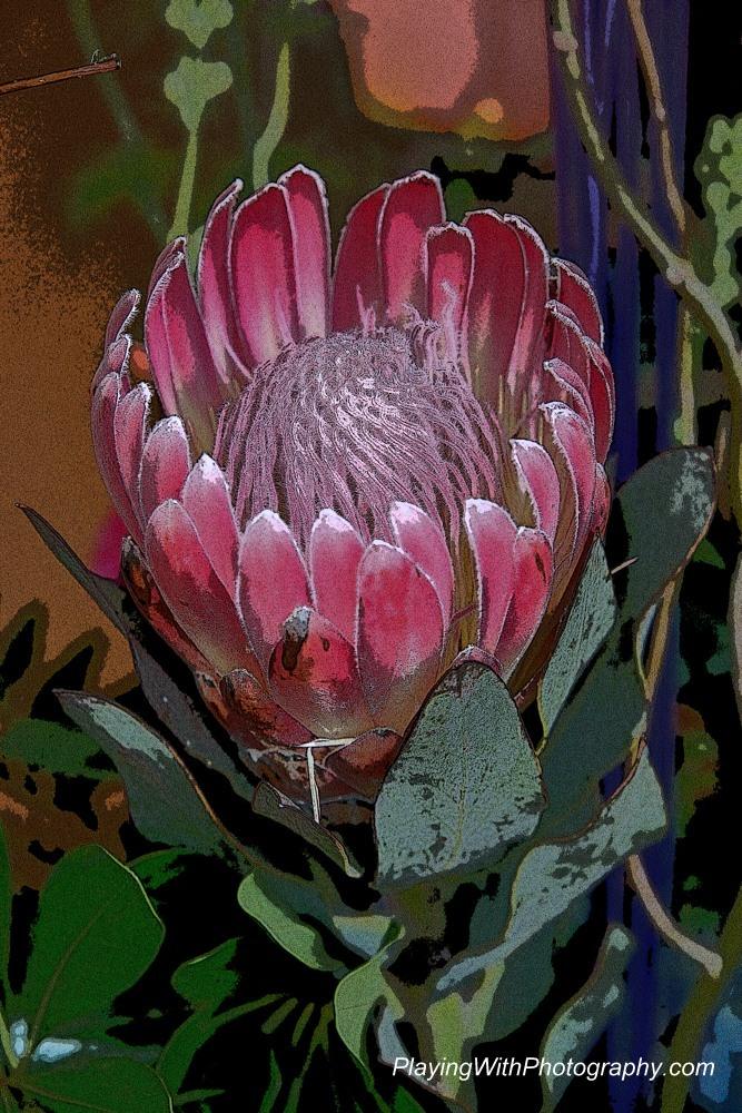 20140523-DSC_6599 posterized protea