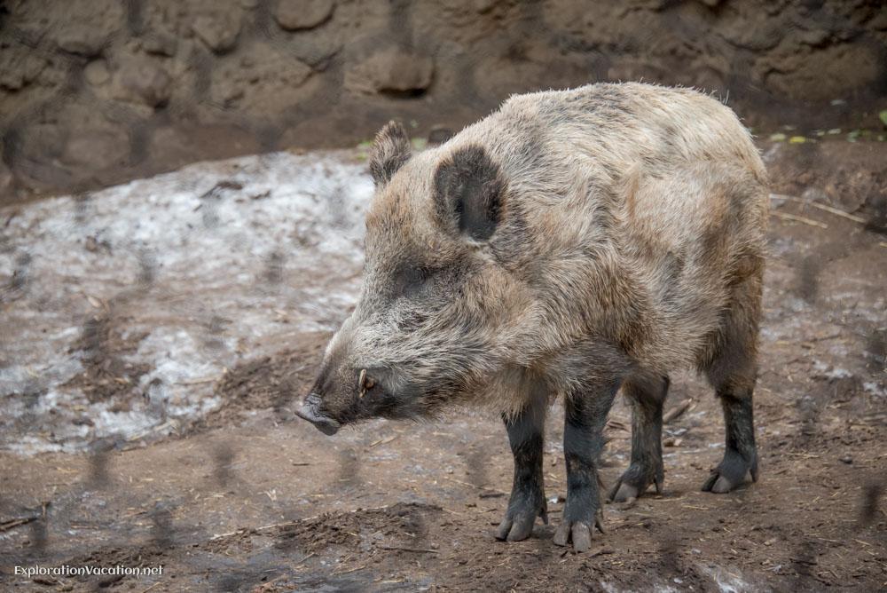 wild boar at the Minnesota Zoo - ExplorationVacation.net