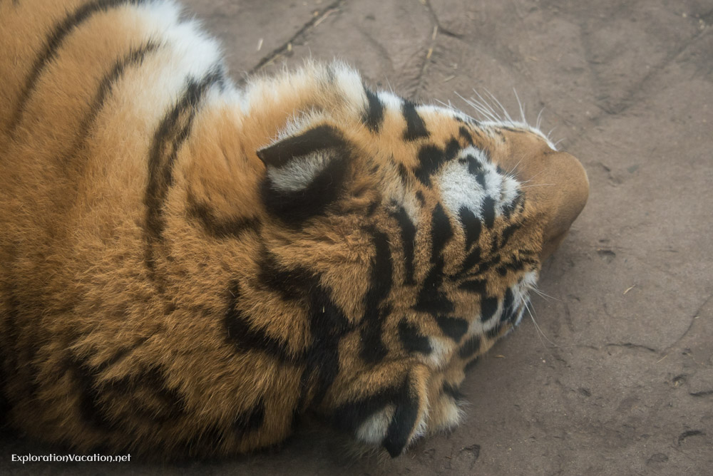 Tigers at the Minnesota Zoo - ExplorationVacation.net