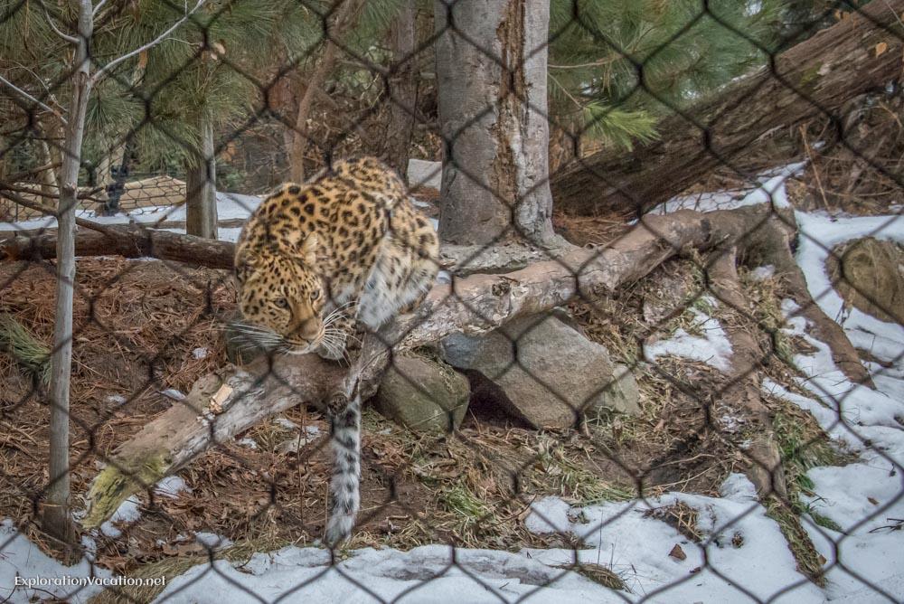Amur leopards at the Minnesota Zoo - ExplorationVacation.net