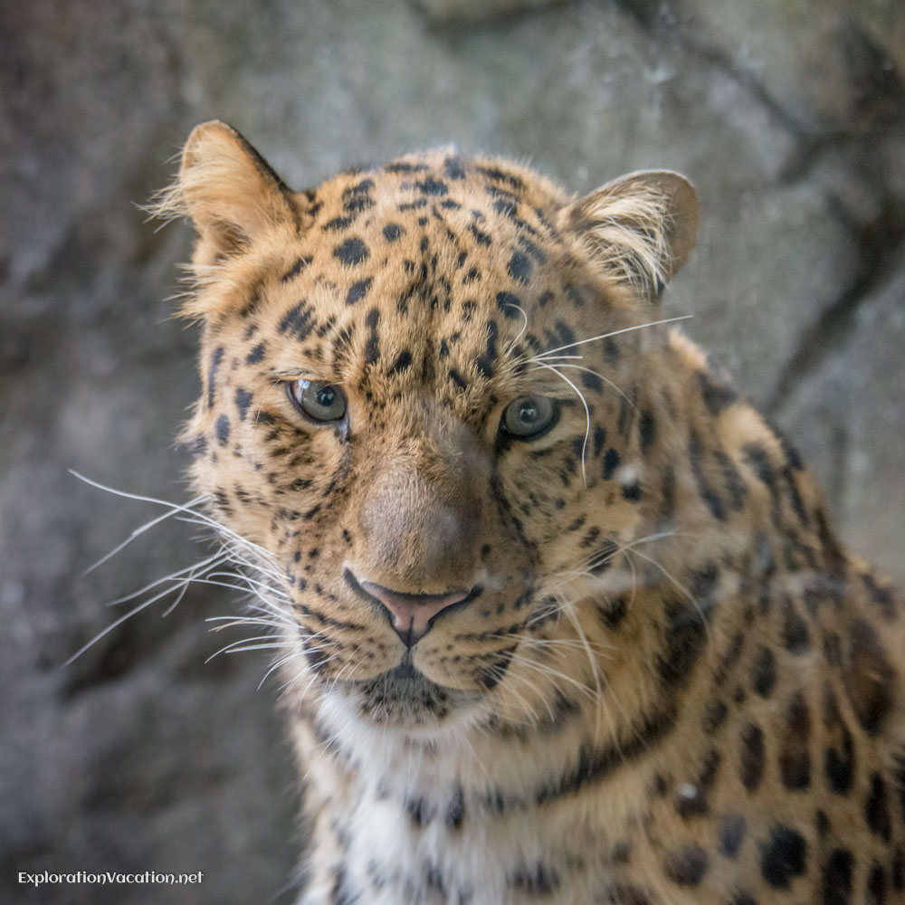 Leopard at the Minnesota Zoo - ExplorationVacation.net