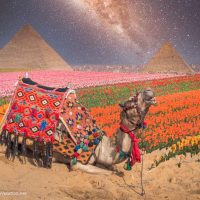 camel in a field of tulips by the pyramids in Egypt