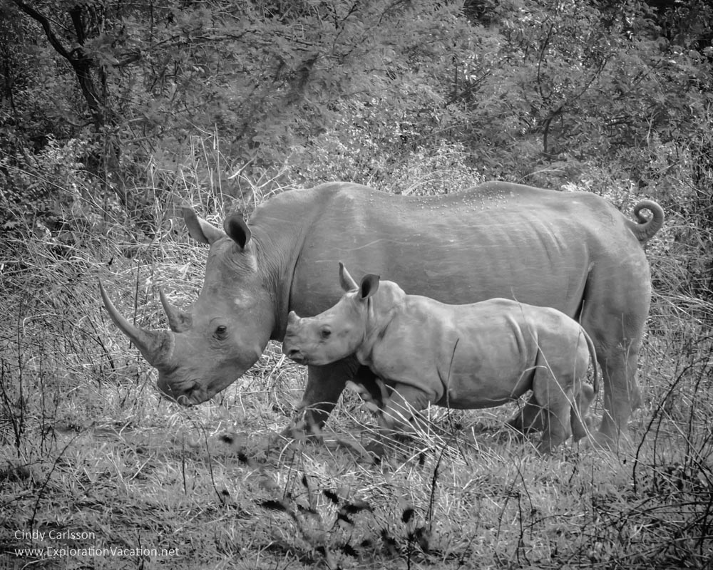 Rhino mother and child in South Africa - Playing with Photography