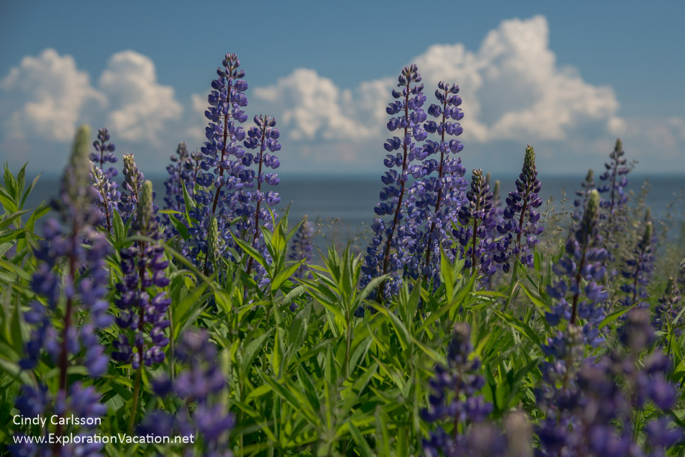 Lupines along Lake Superior